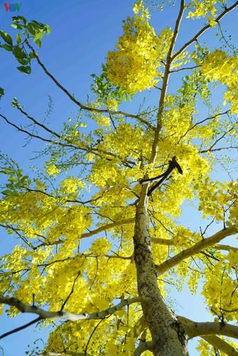 beautiful golden shower trees brighten up dien bien province hinh 3
