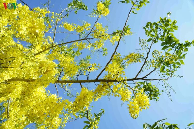 beautiful golden shower trees brighten up dien bien province hinh 4