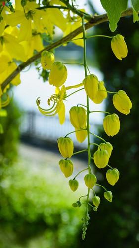 beautiful golden shower trees brighten up dien bien province hinh 5