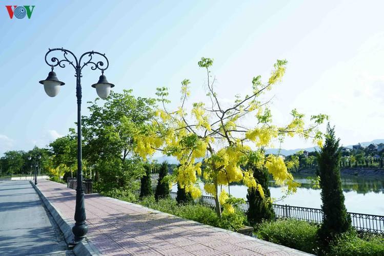 beautiful golden shower trees brighten up dien bien province hinh 6