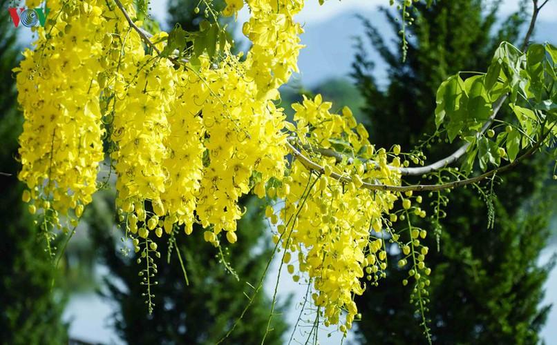 beautiful golden shower trees brighten up dien bien province hinh 8