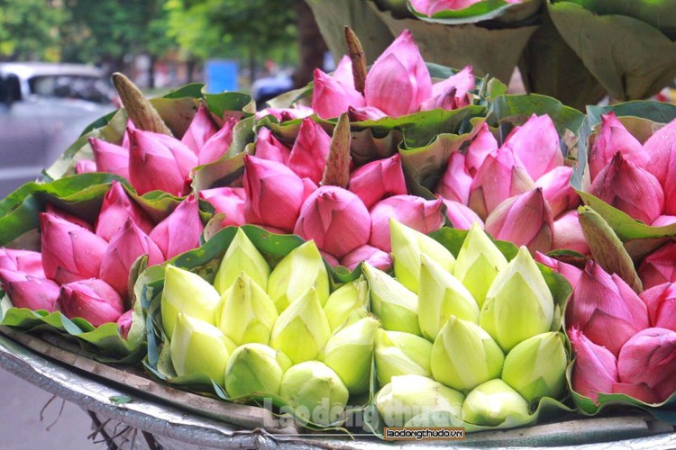 streets around hanoi enjoy sight of blossoming lotus flowers hinh 10