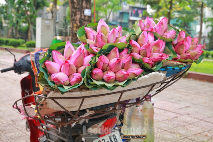 streets around hanoi enjoy sight of blossoming lotus flowers hinh 3