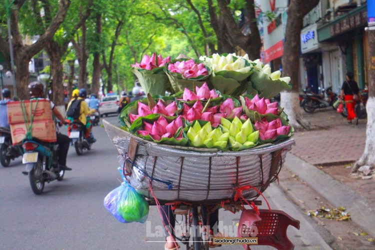 streets around hanoi enjoy sight of blossoming lotus flowers hinh 5