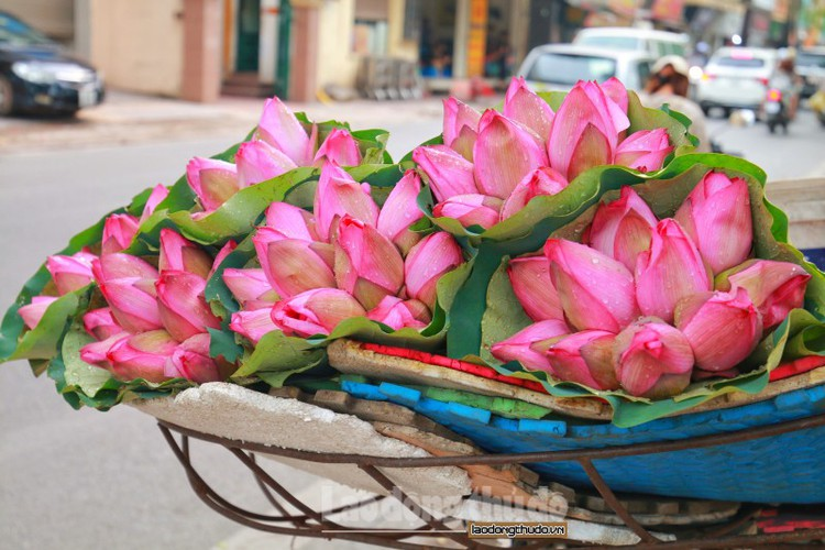 streets around hanoi enjoy sight of blossoming lotus flowers hinh 8