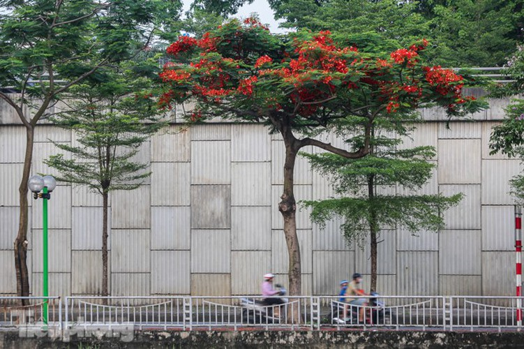 red flamboyant flowers in full bloom in capital hinh 10