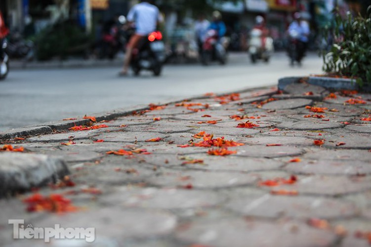 red flamboyant flowers in full bloom in capital hinh 11