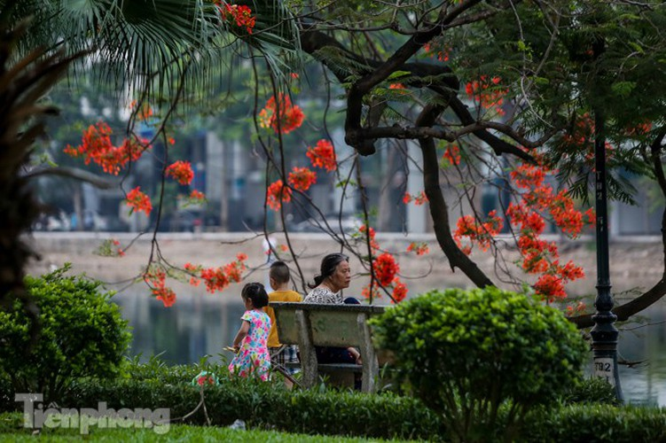 red flamboyant flowers in full bloom in capital hinh 12
