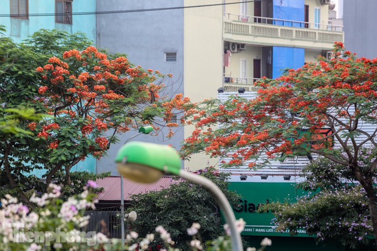 red flamboyant flowers in full bloom in capital hinh 13