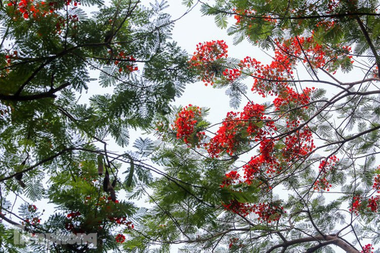 red flamboyant flowers in full bloom in capital hinh 14