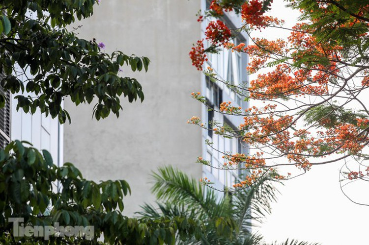 red flamboyant flowers in full bloom in capital hinh 15