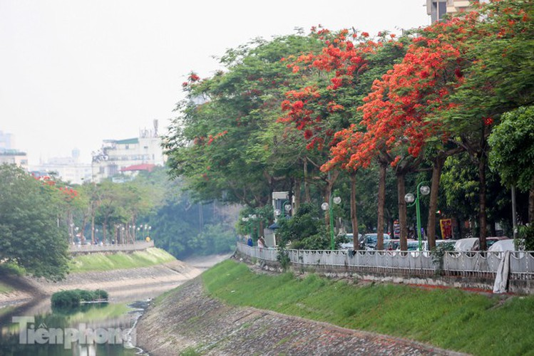 red flamboyant flowers in full bloom in capital hinh 1