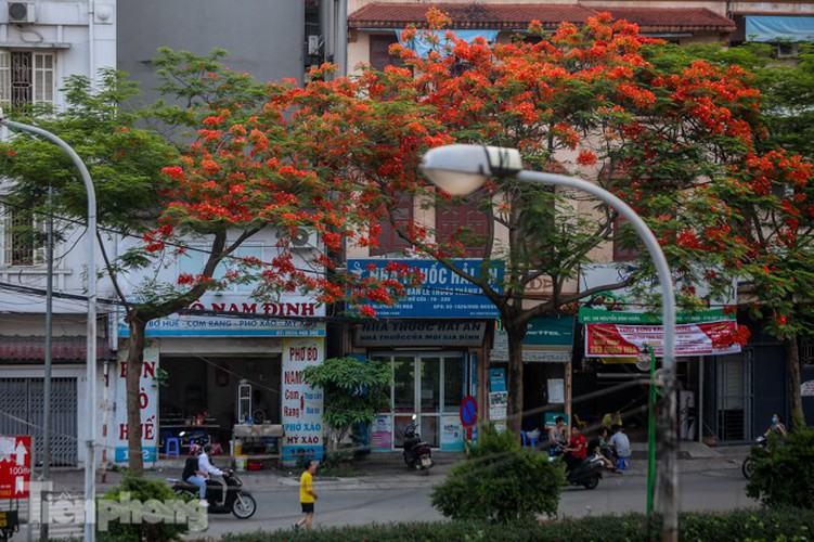 red flamboyant flowers in full bloom in capital hinh 2