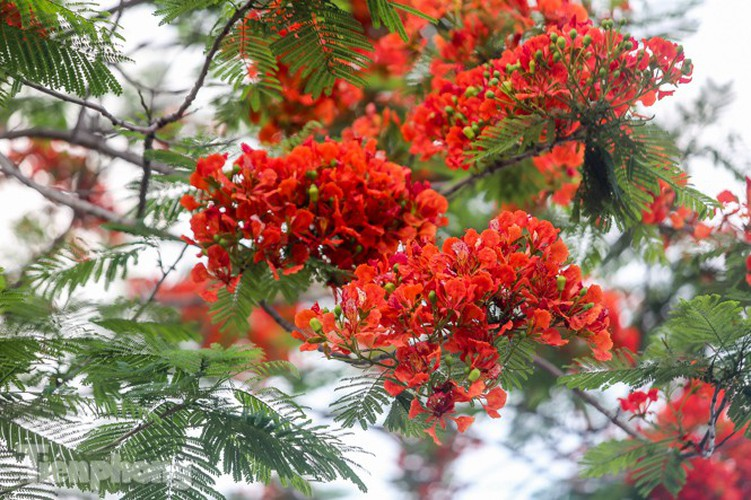 red flamboyant flowers in full bloom in capital hinh 5