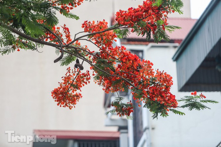 red flamboyant flowers in full bloom in capital hinh 6