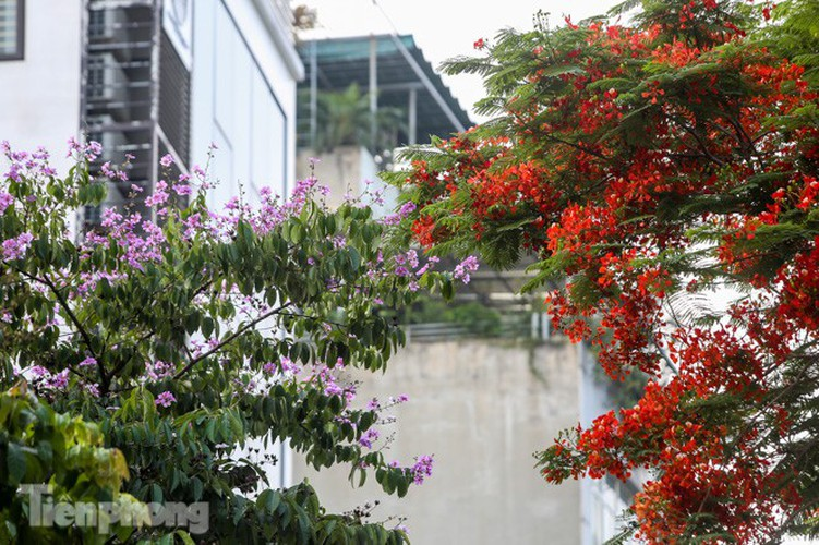 red flamboyant flowers in full bloom in capital hinh 7