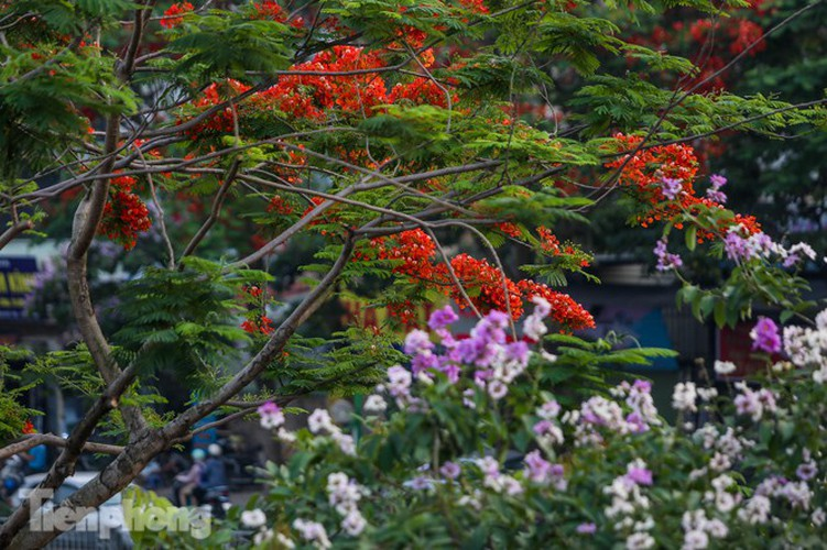red flamboyant flowers in full bloom in capital hinh 8