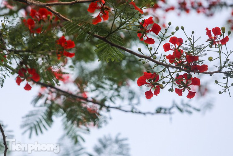red flamboyant flowers in full bloom in capital hinh 9