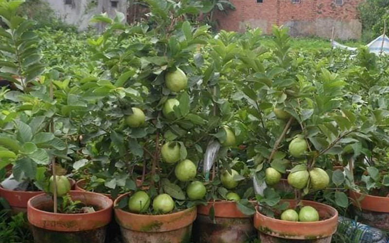 production of new types of fruit helps farmers earn additional income hinh 11