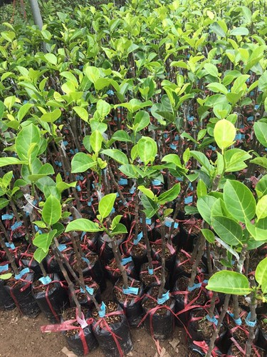 production of new types of fruit helps farmers earn additional income hinh 2