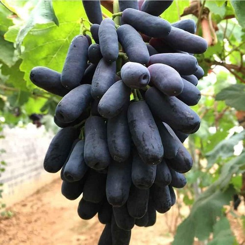 production of new types of fruit helps farmers earn additional income hinh 7