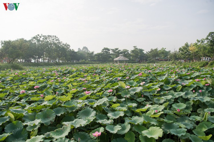 picturesque view of summer lotus flowers blooming in hanoi hinh 10
