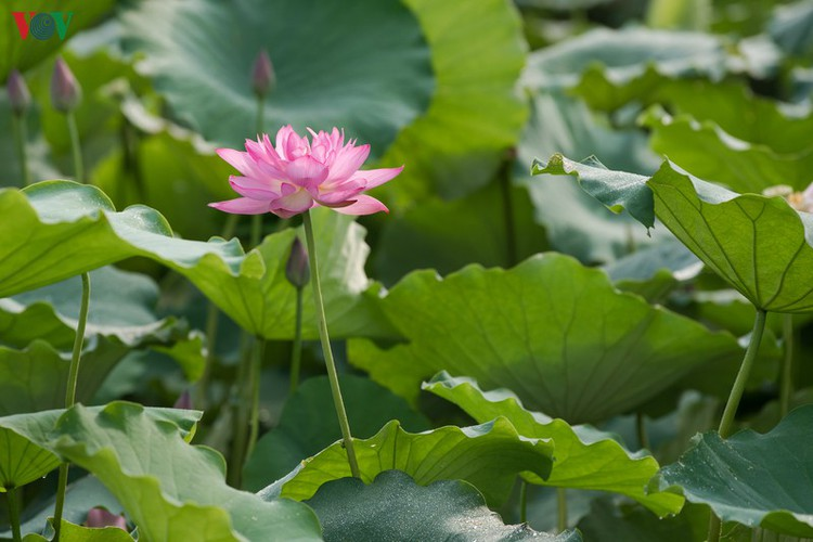 picturesque view of summer lotus flowers blooming in hanoi hinh 11