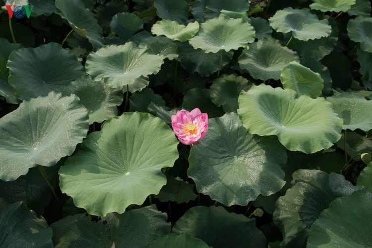 picturesque view of summer lotus flowers blooming in hanoi hinh 12