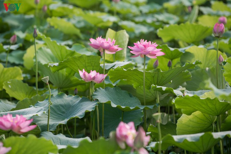 picturesque view of summer lotus flowers blooming in hanoi hinh 13