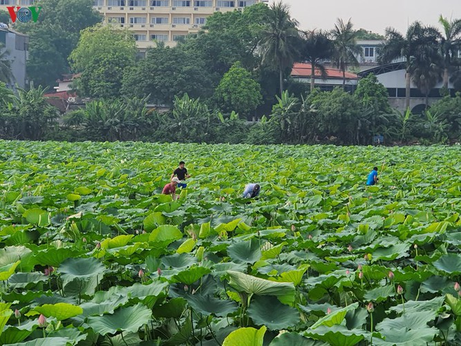 picturesque view of summer lotus flowers blooming in hanoi hinh 15