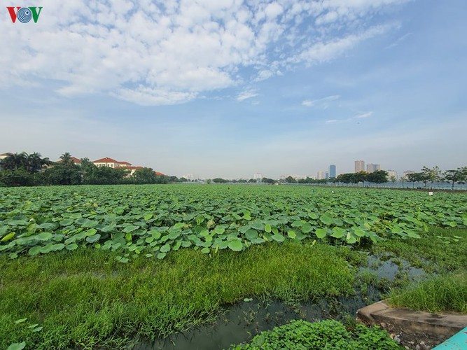 picturesque view of summer lotus flowers blooming in hanoi hinh 16