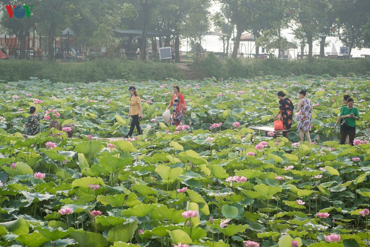 picturesque view of summer lotus flowers blooming in hanoi hinh 17