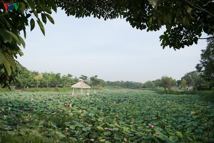 picturesque view of summer lotus flowers blooming in hanoi hinh 1