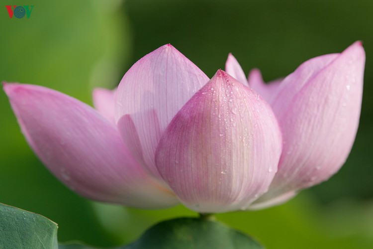 picturesque view of summer lotus flowers blooming in hanoi hinh 8