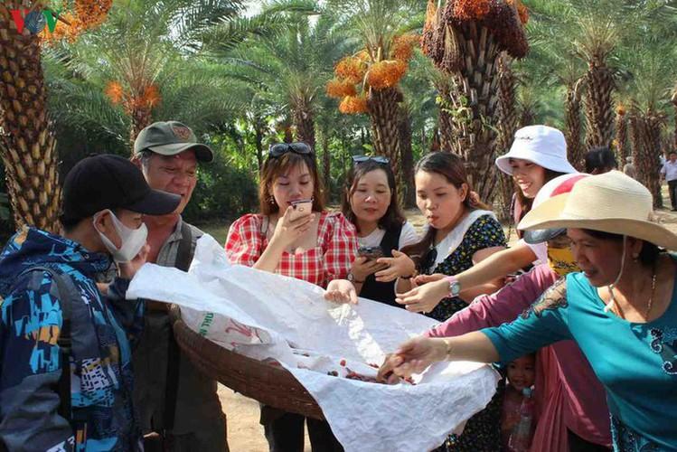 biggest date palm garden in the vietnam's southwestern region hinh 10