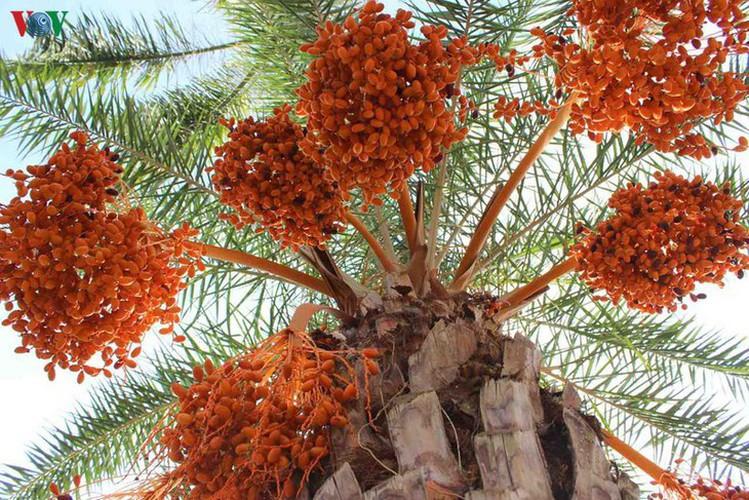 biggest date palm garden in the vietnam's southwestern region hinh 11