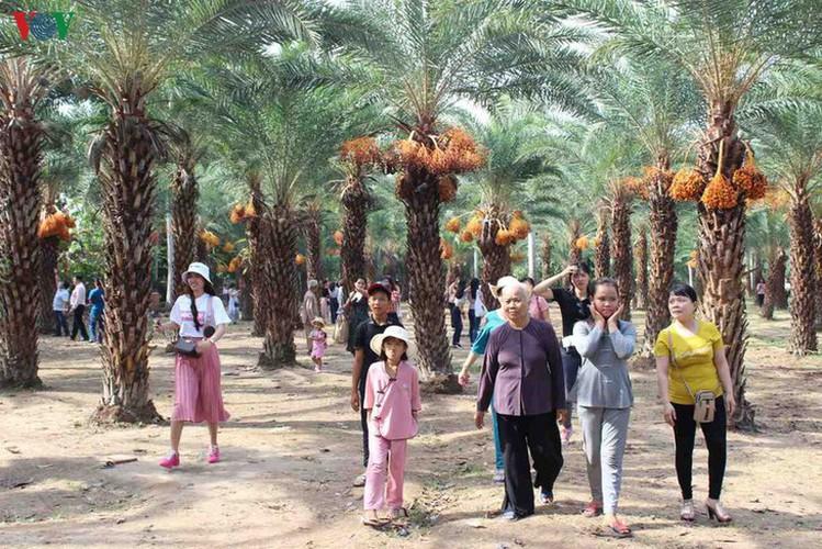 biggest date palm garden in the vietnam's southwestern region hinh 12
