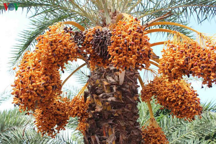 biggest date palm garden in the vietnam's southwestern region hinh 1