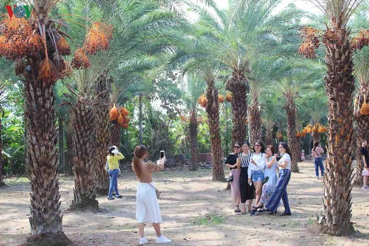 biggest date palm garden in the vietnam's southwestern region hinh 2