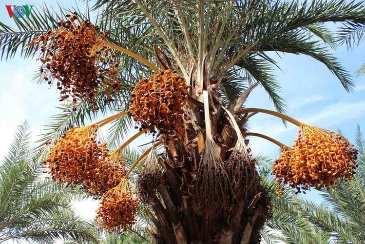 biggest date palm garden in the vietnam's southwestern region hinh 3