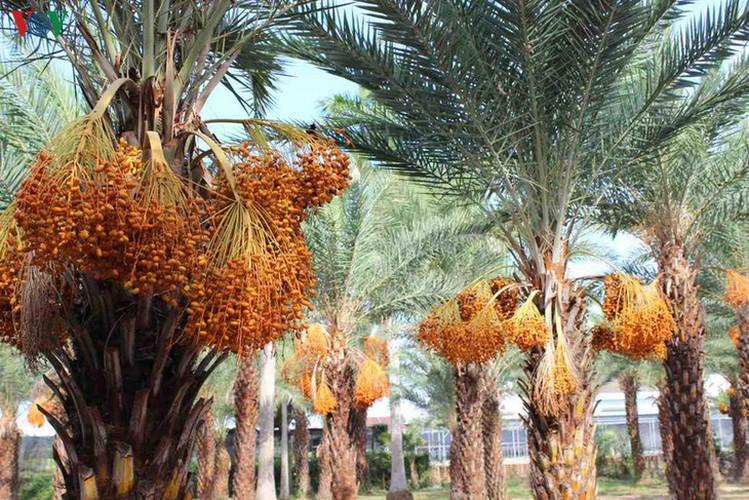 biggest date palm garden in the vietnam's southwestern region hinh 4