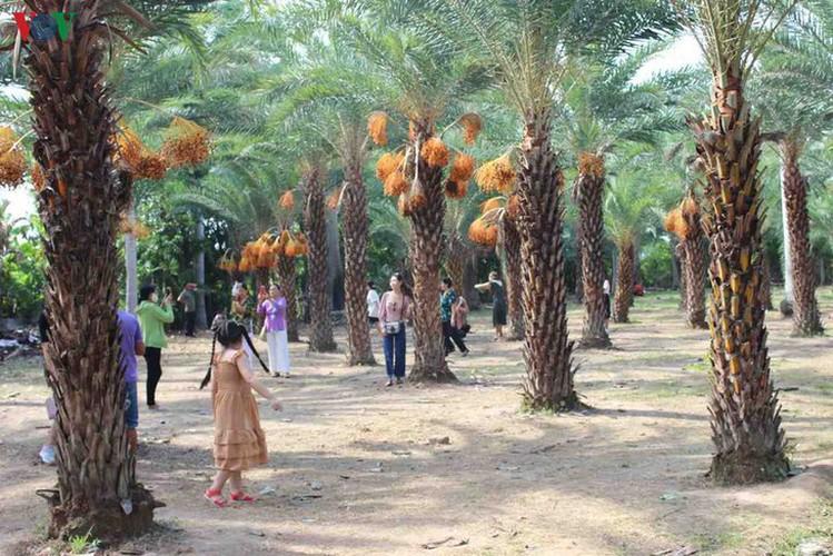 biggest date palm garden in the vietnam's southwestern region hinh 5