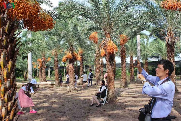biggest date palm garden in the vietnam's southwestern region hinh 6
