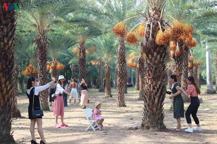 biggest date palm garden in the vietnam's southwestern region hinh 7