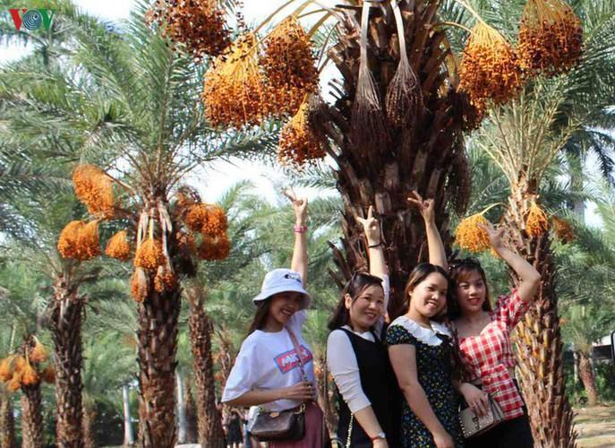 biggest date palm garden in the vietnam's southwestern region hinh 8