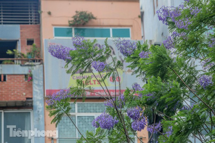 hanoi capital dotted with da lat purple phoenix flowers hinh 12