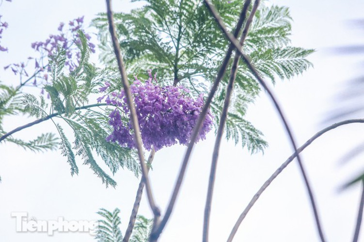 hanoi capital dotted with da lat purple phoenix flowers hinh 5