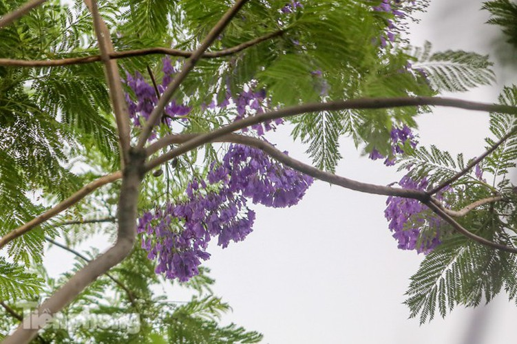 hanoi capital dotted with da lat purple phoenix flowers hinh 7