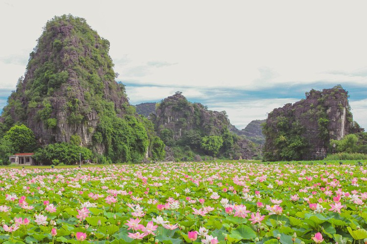 beautiful lotus ponds in ninh binh become hot summer check-in spot hinh 5
