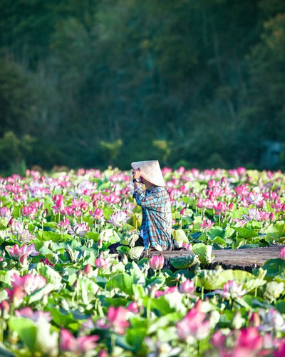 beautiful lotus ponds in ninh binh become hot summer check-in spot hinh 8